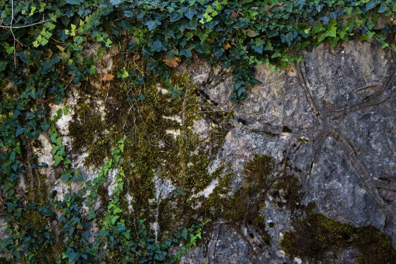 Edera e muschio della foto sulla parete di pietra fotografia stock