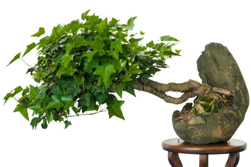 edera hedera helix come albero dei bonsai fotografia stock immagine di isolato frondeggia. Black Bedroom Furniture Sets. Home Design Ideas