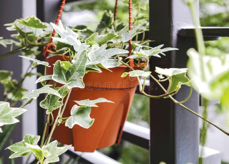Edera inglese o hedera helix in vaso di fiore al balcone immagine stock libera da diritti