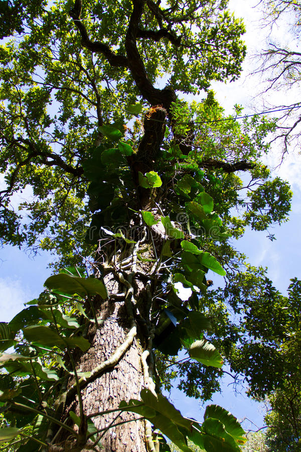 Edera rampicante che coltiva su un albero immagine stock for Edera rampicante