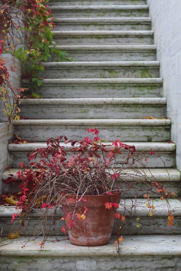 Edera rossa di autunno sulle scale fotografia stock libera da diritti