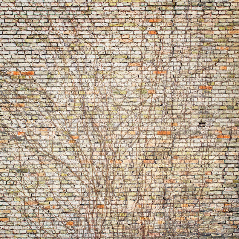 Edera sul muro di mattoni variopinto immagini stock