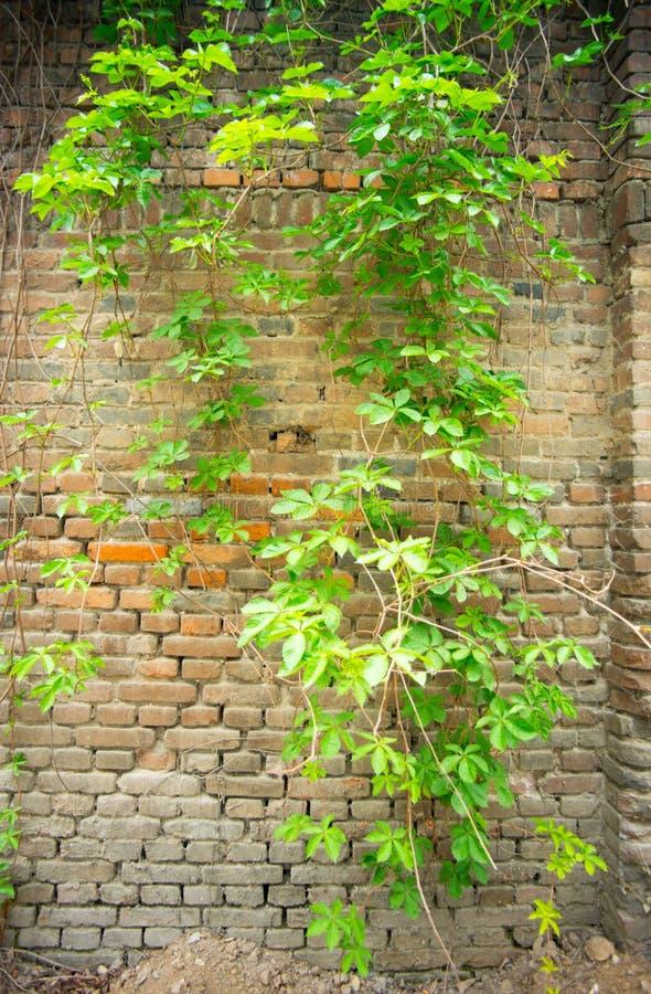 Edera sul vecchio muro di mattoni fotografia stock libera da diritti