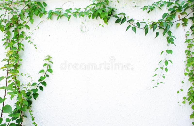 Edera verde fotografie stock libere da diritti