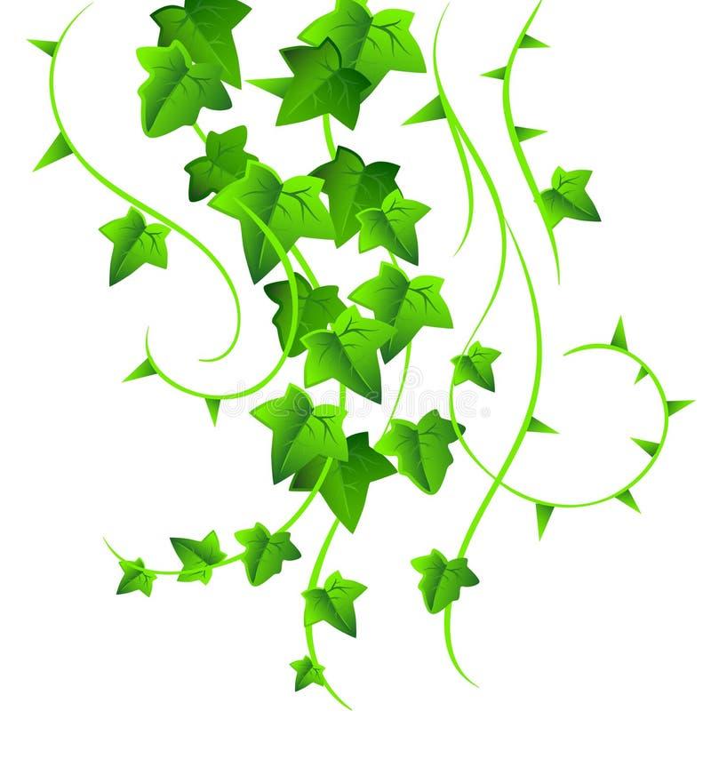 Edera verde royalty illustrazione gratis