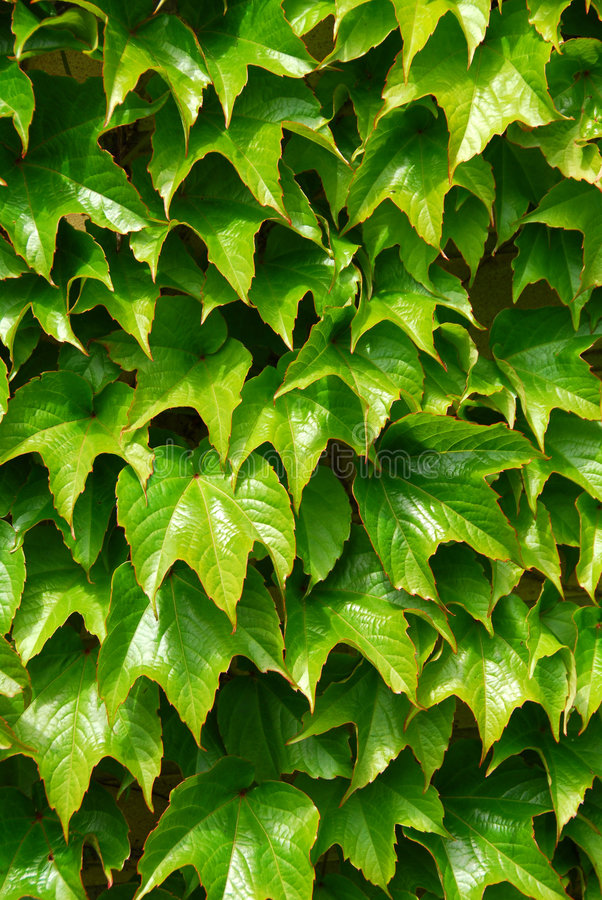 Edera verde fotografia stock
