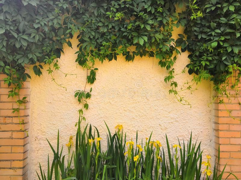 Edera verde sulla vecchia parete gialla del cemento alla luce solare immagini stock
