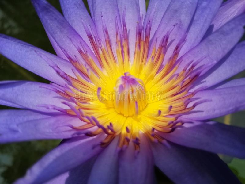 Gaysorn lotus flower, yellow-purple color, full close-up photos. royalty free stock photos