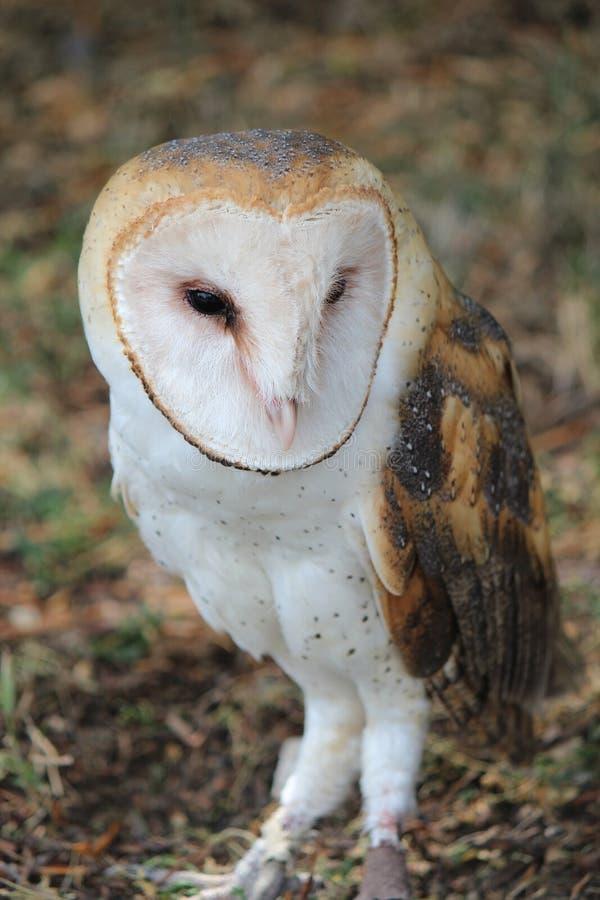 Edgar Barn Owl stock afbeeldingen