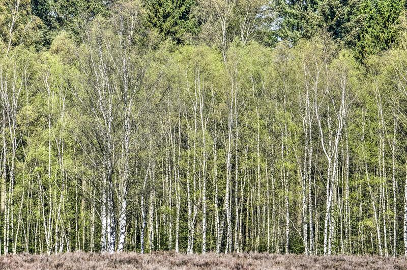 Birch tree forest edge. Edge of a birch tree forest seen from the heath at Heerde, , The Netherlands royalty free stock photography