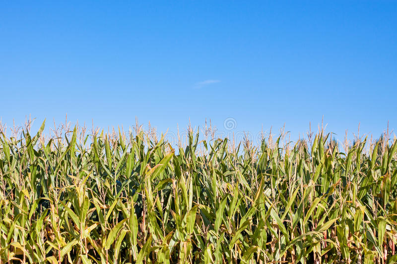 Download Edge of corn field stock photo. Image of field, side - 27337934
