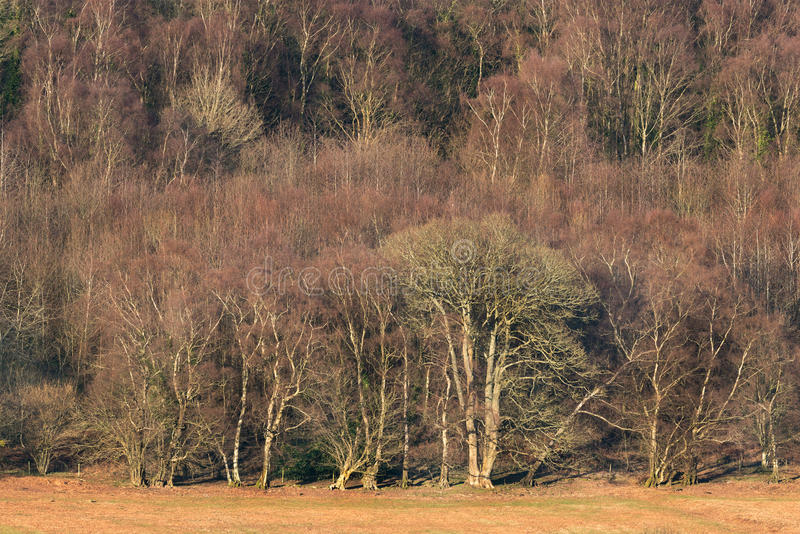 Edge of deciduous forest in Winter royalty free stock images
