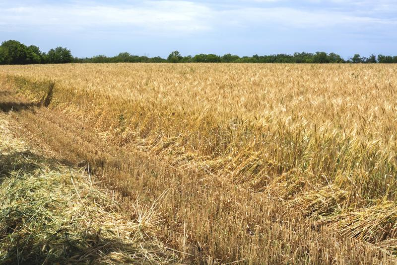 The edge of the field with the ripened grain crop, with a beveled rye or barley, for safety purposes from fire. The edge of the field with the ripened grain royalty free stock photography
