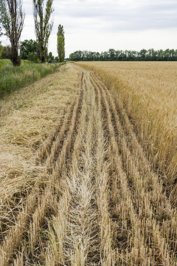 The edge of the field with the ripened grain crop, with a beveled rye or barley, for safety purposes from fire. The edge of the field with the ripened grain royalty free stock photo