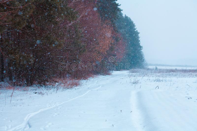 The edge of the forest in the snowfall royalty free stock image
