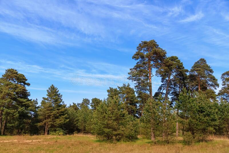 Edge of a pine forest. On a clear day at sunset royalty free stock photos