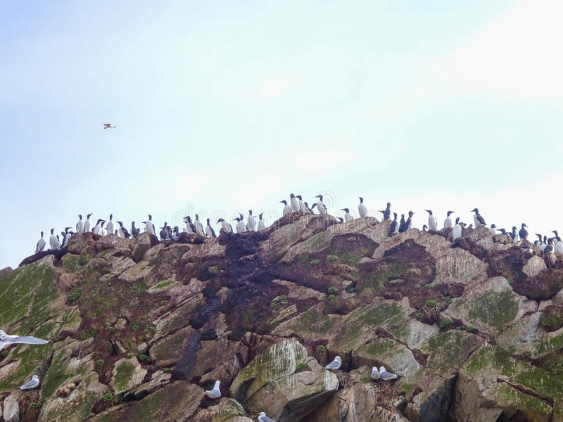 On the edge. Seabirds sitting on the edge (Hornøya, Norway) stock photography