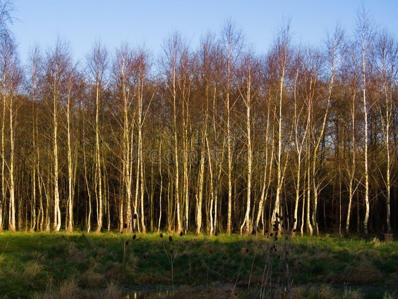 Silver Birch Woodland Stock Image Image Of Pendula
