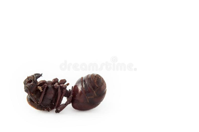 Edible ant traditional from Santander region of Colombia called Hormiga Culona royalty free stock images