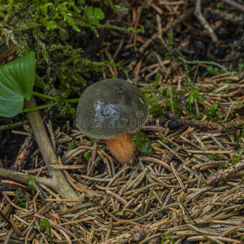 Edible brown mushroom in green summer forest royalty free stock photos