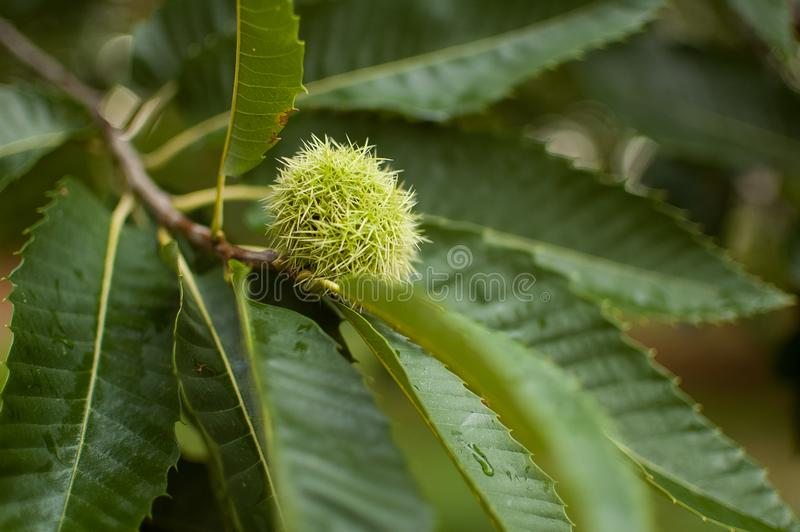 Edible chestnut in its prickly shell, fallen from the tree to the ground or still hanging from the chestnut tree. stock images