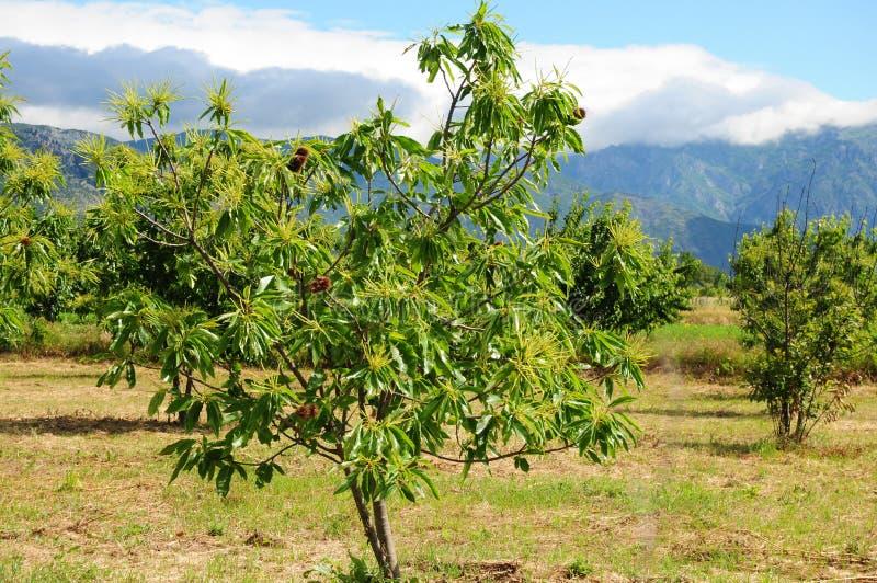 Edible Chestnut tree stock photography