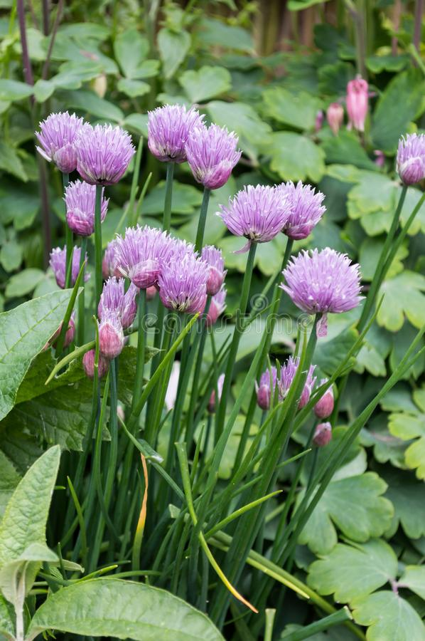 Edible Chives flowers in mixed border. Culinary herb. stock photography