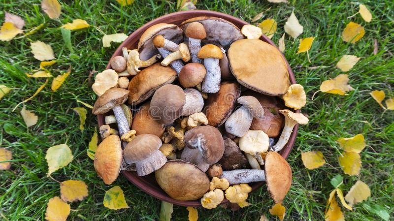 Edible forest mushrooms on a background of green grass with  autumn birch leaves. Cep, orange-cap boletus, chanterelle, rough-stemmed bolete, red-capped scaber royalty free stock photo