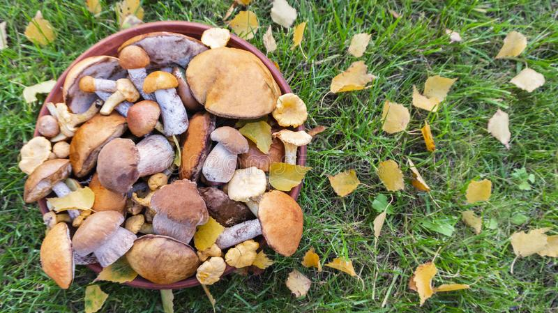 Edible forest mushrooms on a background of green grass with autumn birch leaves and space for text. Cep, orange-cap boletus, chanterelle, red-capped scaber stock images