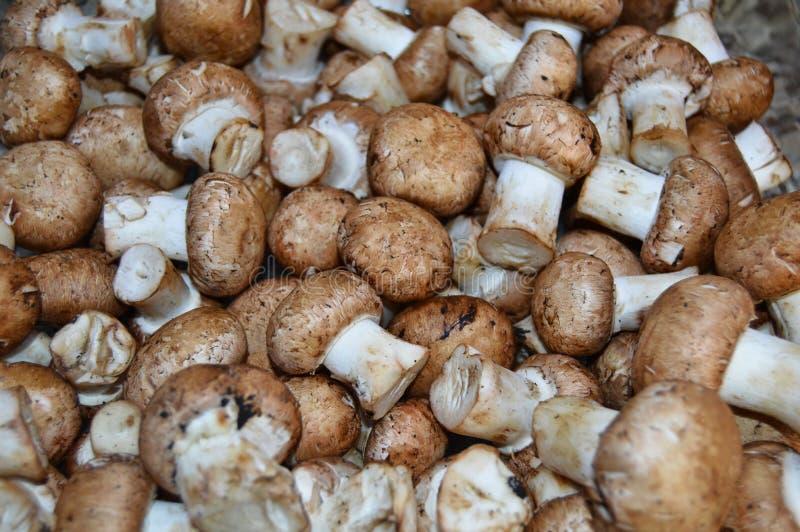 Edible fresh chestnut mushroom stock image