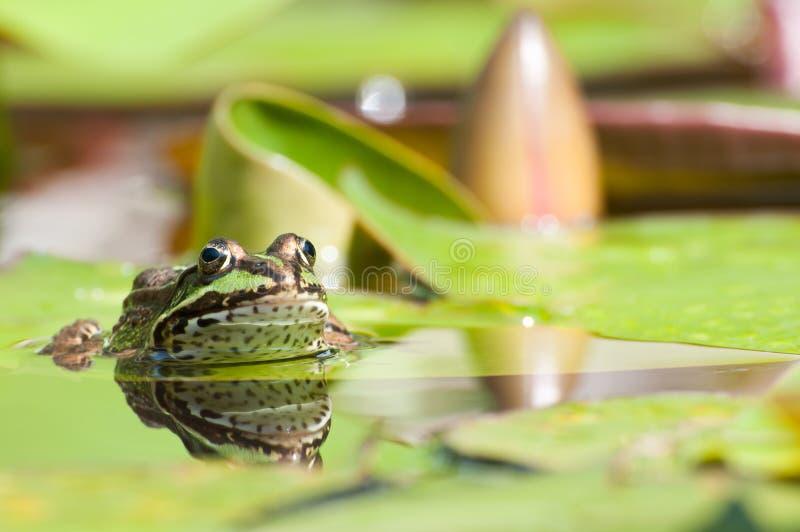 Download Edible Frog Royalty Free Stock Image - Image: 20320146