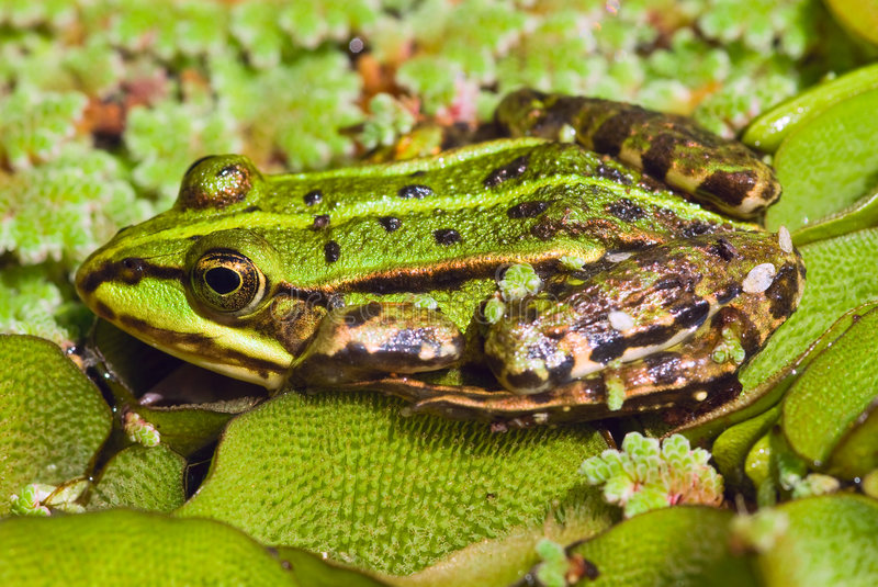Edible Frog in pond close-up stock image