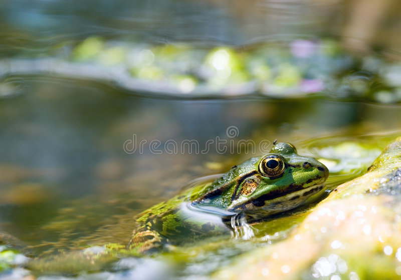 Edible Frog in pond close-up royalty free stock photos