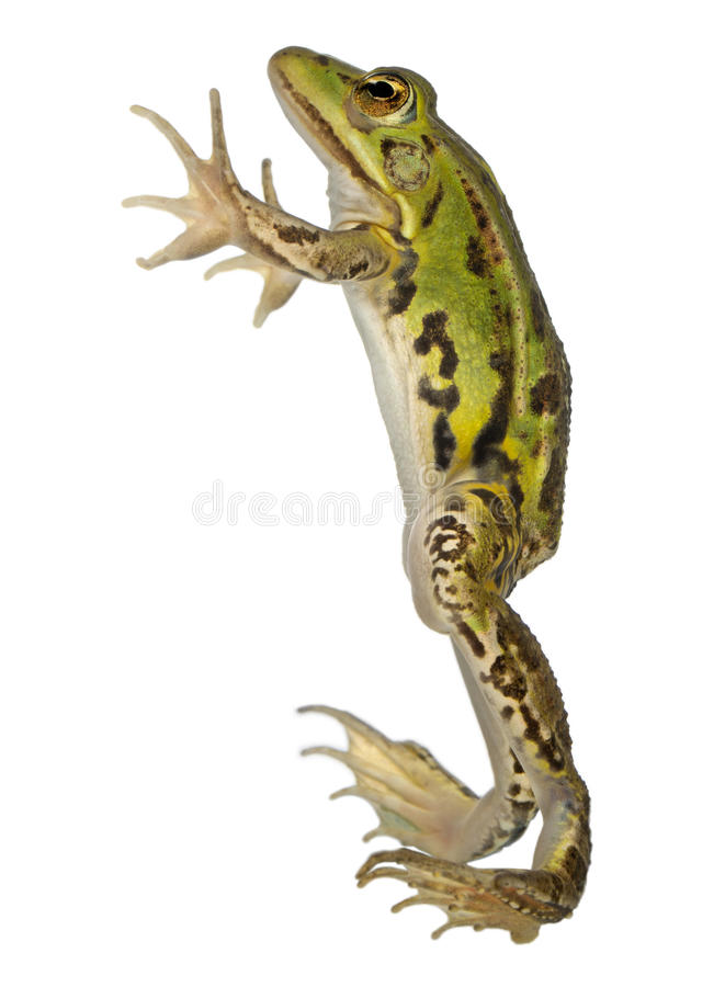Download Edible Frog, Rana Esculenta Royalty Free Stock Photography - Image: 21404167