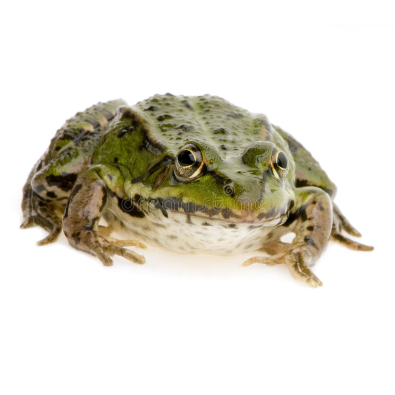 Download Edible Frog - Rana Esculenta Stock Image - Image: 2304607