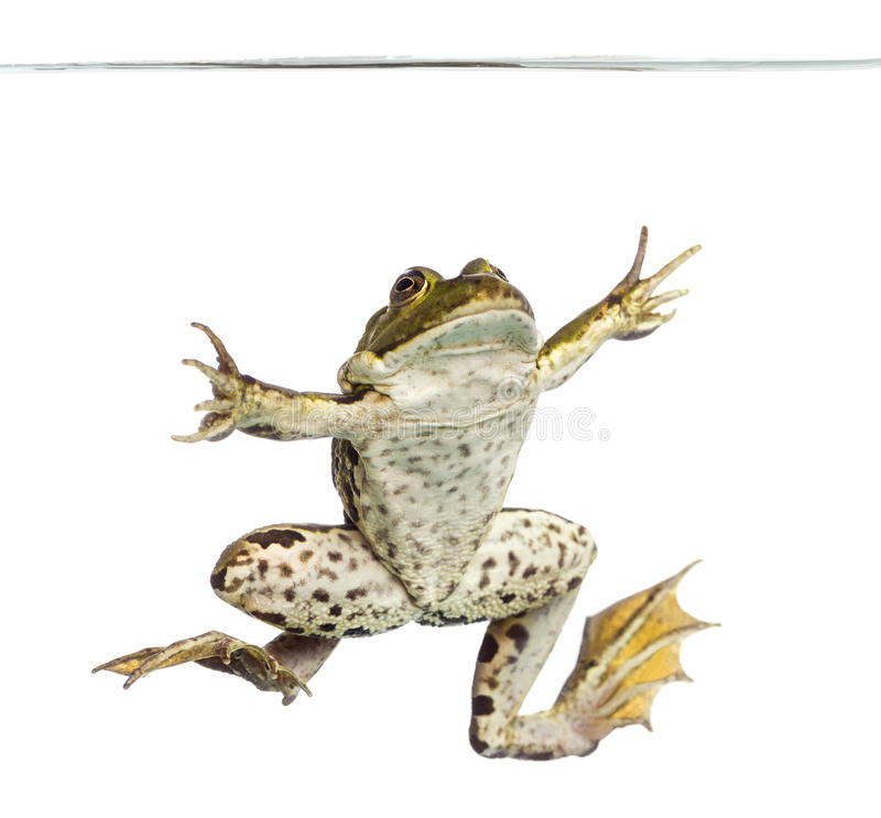 Free Edible Frog Viewed From Below Swimming Up Stock Photography - 38841052