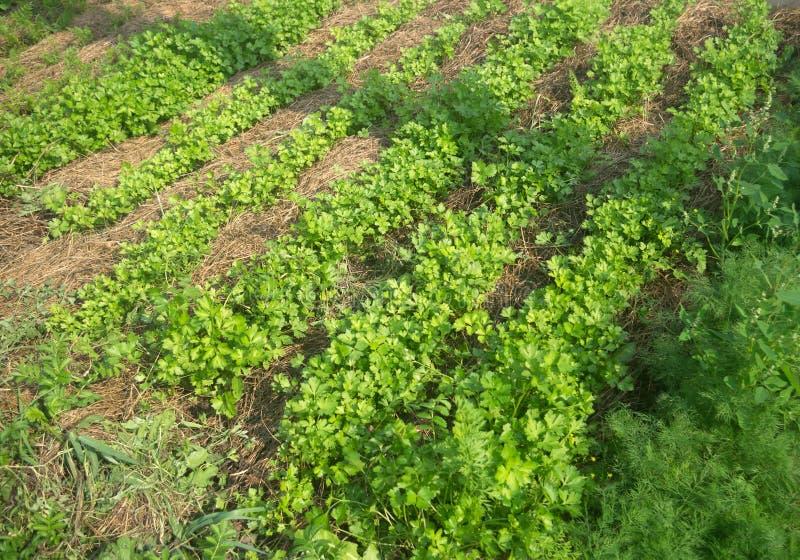 Edible greens in the garden stock image