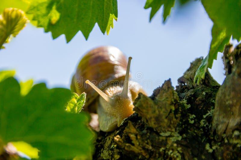 Edible land snail Latin: Helix pomatia. Burgundy Land snail Latin: Helix pomatia is a species of large, edible snail or escargot for cooking, often found in the stock photos