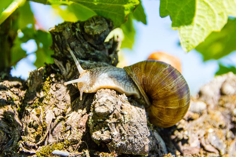 Edible land snail Latin: Helix pomatia. Burgundy Land snail Latin: Helix pomatia is a species of large, edible snail or escargot for cooking, often found in the stock images