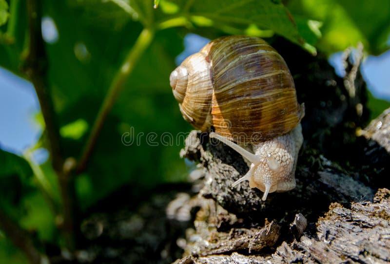 Edible land snail Latin: Helix pomatia. Burgundy Land snail Latin: Helix pomatia is a species of large, edible snail or escargot for cooking, often found in the royalty free stock photo