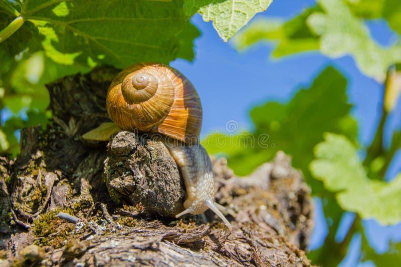 Edible land snail Latin: Helix pomatia. Burgundy Land snail Latin: Helix pomatia is a species of large, edible snail or escargot for cooking, often found in the stock photography