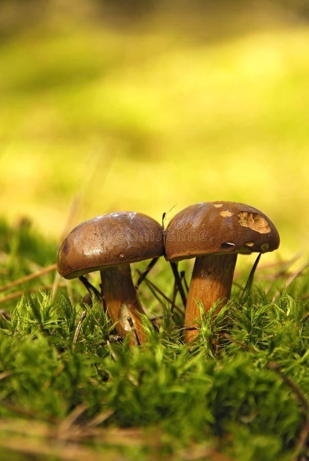 Edible mushroom royalty free stock images