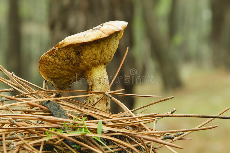 Edible mushroom (Boletus). In a pine forest royalty free stock photography