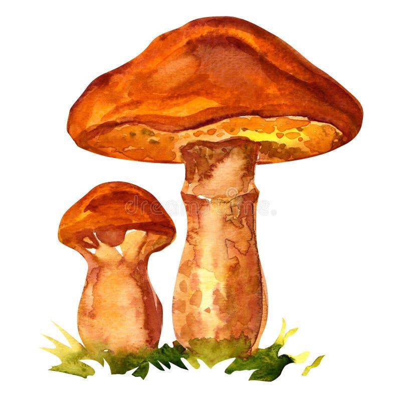 Free Edible Mushroom Suillus Luteus Stock Photography - 45101742