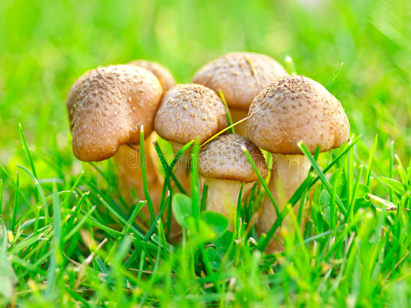 Download Edible mushrooms stock image. Image of autumn, food, seasonal - 21203937