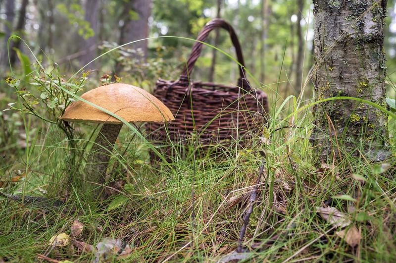 Edible mushrooms Boletus red Leccinum with an orange hat in the grass in the forest, in the background is a basket stock photo