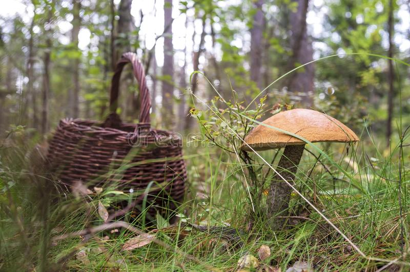 Edible mushrooms Boletus red Leccinum with an orange hat in the grass in the forest, in the background is a basket royalty free stock photography