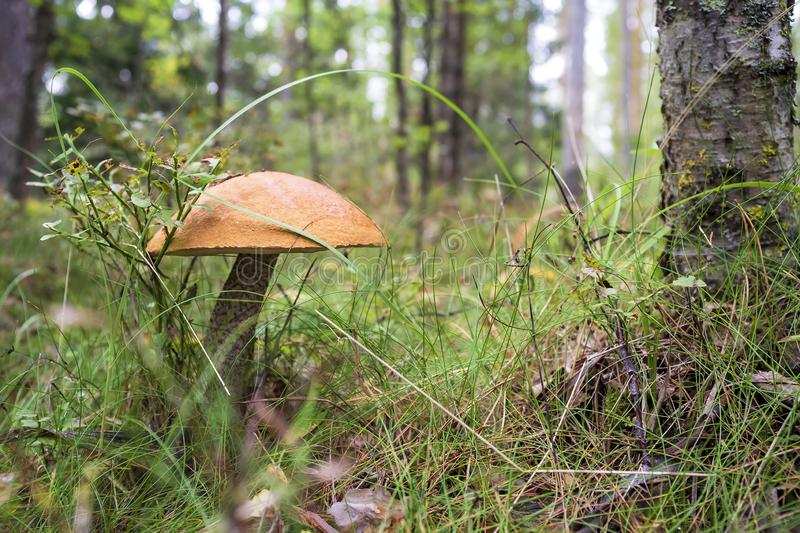 Edible mushrooms Boletus red Leccinum with orange hat on the grass in the forest royalty free stock photo