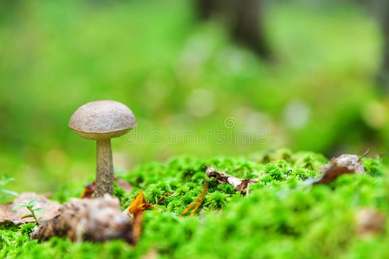 Edible small mushroom with brown cap Penny Bun leccinum in moss autumn forest background. Fungus in the natural environment close. Edible small mushroom with royalty free stock images