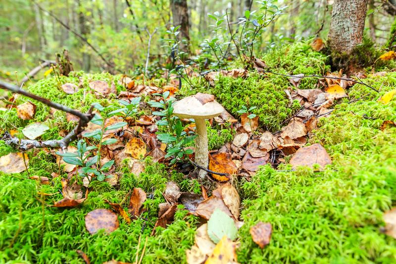 Edible small mushroom with brown cap Penny Bun leccinum in moss autumn forest background. Fungus in the natural environment close. Edible small mushroom with stock photography